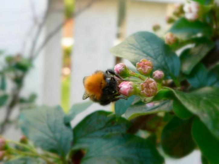 bumblebee, insect