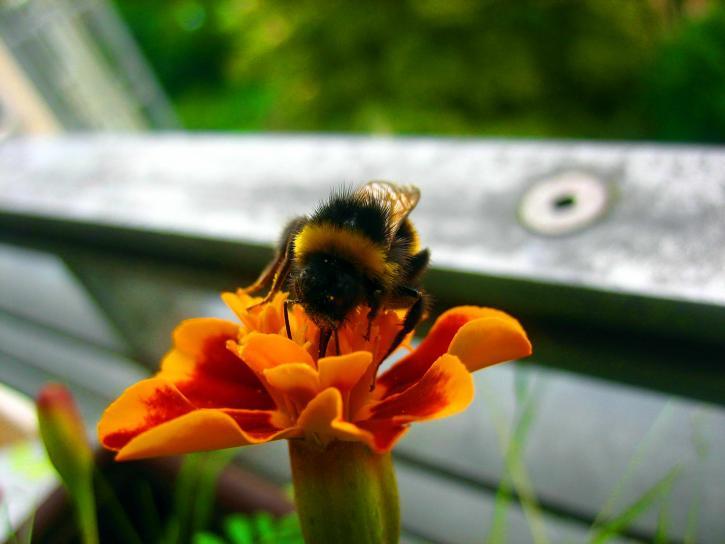 bumblebee, macro, insect