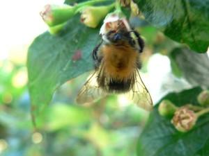 bumblebee, tree