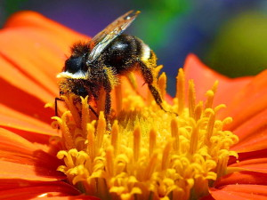 abejorros, flores, macro