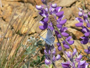 male, mission, blue, butterfly, rests, silver, bush, lupine