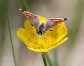 Américaine, cuivre, papillon, fleur jaune