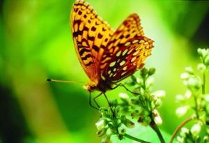 Αφροδίτη, milkweed, speyeria, fritaillary, Αφροδίτη