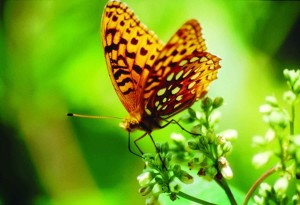Afrodyta, fritaillary, milkweed, speyeria aphrodite