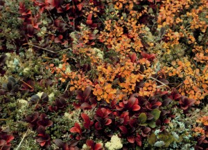 arctostaphylos, alpina, Betula, nana, busserole, nain, bouleau