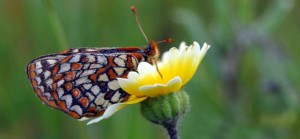 bay, checkerspot, butterfly, lepidoptera, nymphalidae