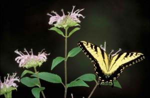 noir, rayé, jaune, papillon, séance, rose, fleur, ailes, ouvert