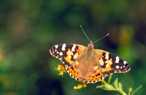 brown, orange, white, painted, lady, butterfly, vanessa, virginiensis
