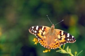 smeđa, narančasta, bijela, obojena, dama, leptir, vanessa virginiensis