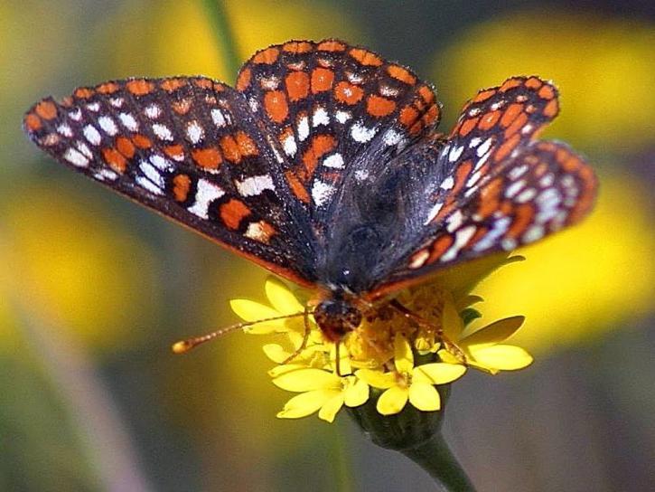 fjäril, fjärilar, buggar, blommor