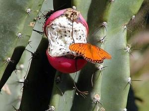fjäril, fjärilar, cactus