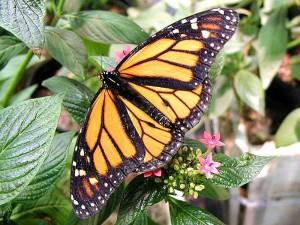 butterfly, butterflies, flowers, leaves
