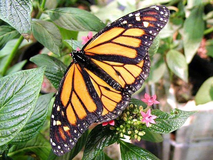 fjäril, fjärilar, blommor, blad