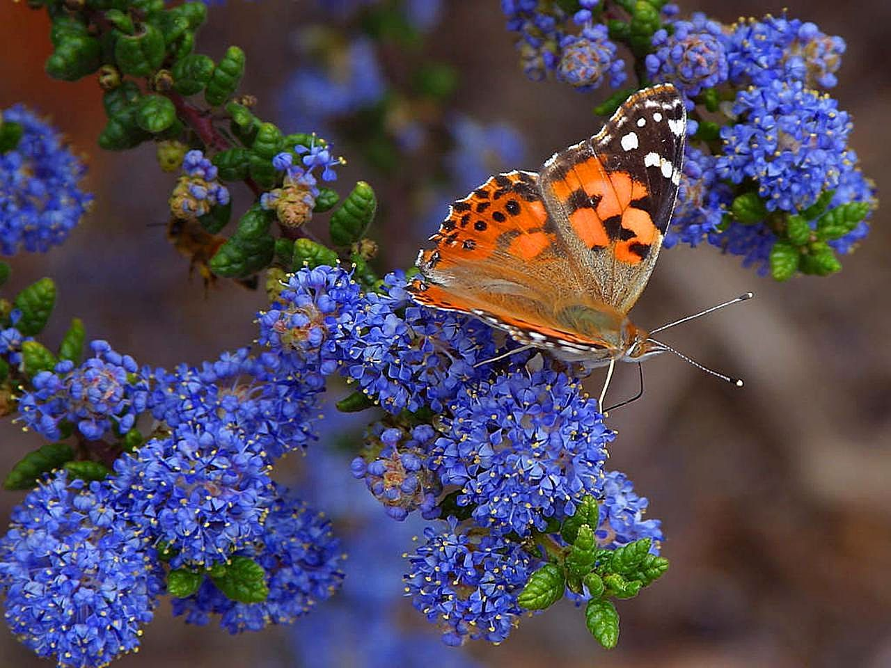 free picture butterfly butterflies flowers leaves