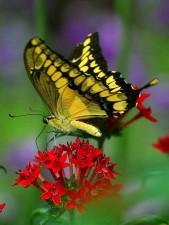 butterfly, butterflies, wings