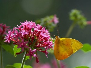 butterfly, cloudless, sulphur