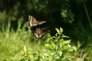 butterfly, dance, pair, butterflies, hover, plant, material