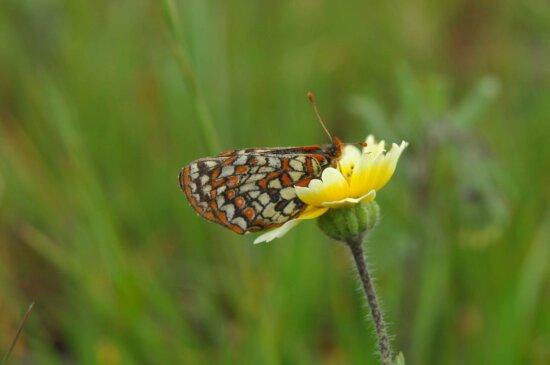 butterfly, euphydryas editha bayensis