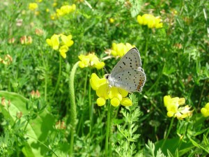 motýl, šedá, měď, lycaenidae, dione, květ, štírovníku, trojlístek