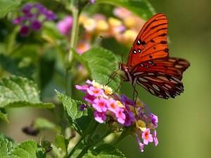 butterfly, Louisiana