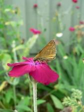 butterfly, cerise, flower, macro