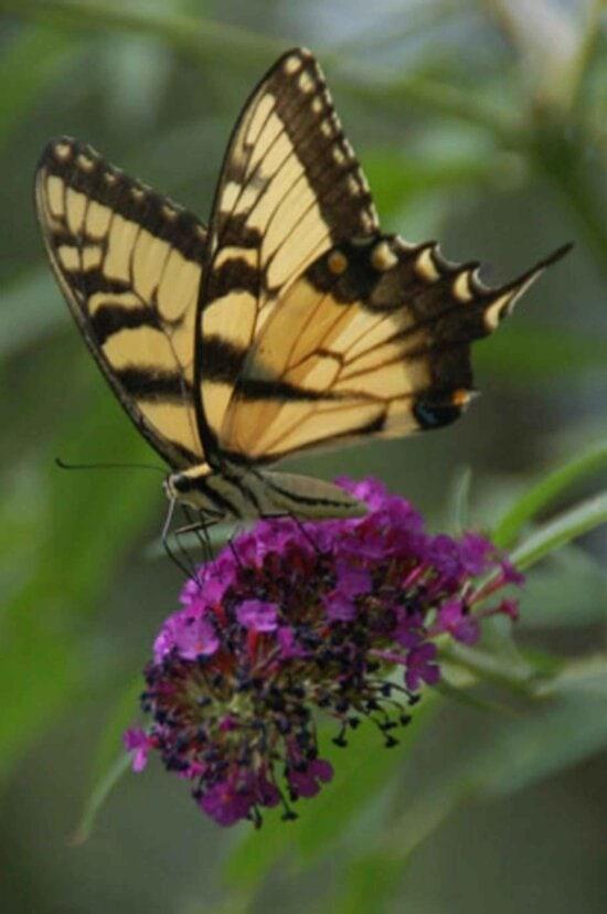 butterfly, purple flower