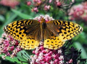papillon, pailletée, fritillaire