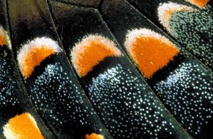 sommerfugl, vinger