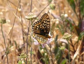 Callippe, Silverspot, farfalla, Speyeria, Callippe, Callippe