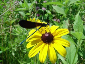calopteryx maculata, ebony, jeweling, butterfly, insect, plant