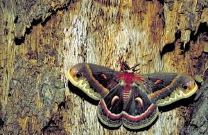 cecropia, mite, insecte, Hyalophora, cecropia