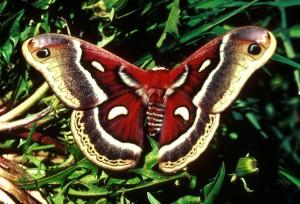 Cecropia, ćma, skrzydła, rozszerzony