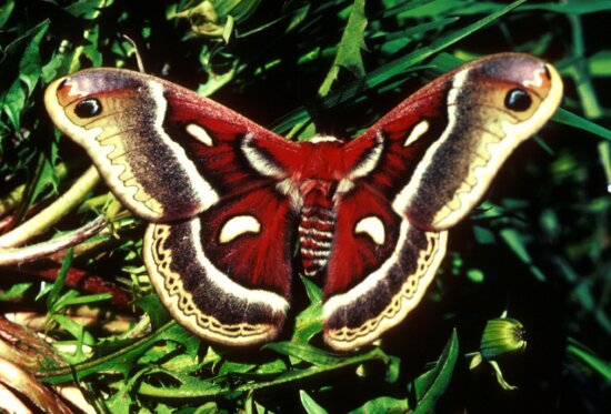 cecropia, moth, wings, expanded