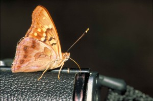 up-close, tan, yellow, brown, butterfly, standing, black, camera