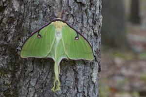up-close, large, green, luna, moth, bark, hardwood, tree