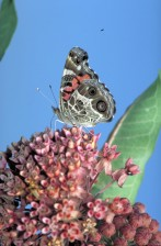 commun, asclépiade, papillon