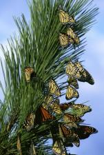 danus, plexippus, butterflies