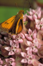 delaware, skipper, common, milkweed
