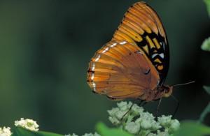 diana, fritillaire, papillon, sauvage, quinine