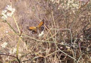 dorsal, endangered, lange, metalmark, butterfly