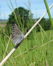 endangered, fenders, blue, butterfly, icaricia icarioides fenderi