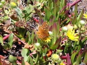 endangered, myrtle, silverspot, butterfly