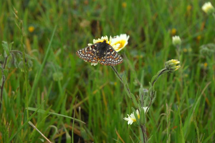 euphydryas, editha, butterfly, flower