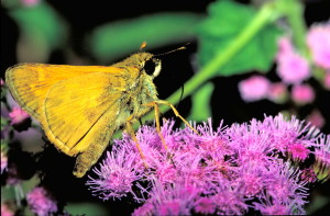 European, skipper, butterfly, insect, thymelicus, lineola