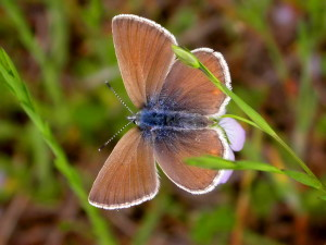 female, blue, butterfly, icaricia, icarioides, fenderi