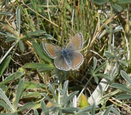 female, mission, blue, butterfly, lands, patch, grass