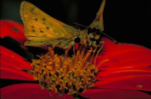 fiery, skipper, butterfly, macro, insect, photo