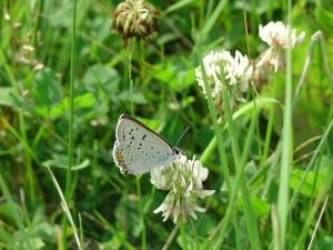 gris, cuivre, papillon, insecte, Lycaenidae, dione