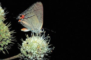 gris, hairstreak, papillon, Strymon, melinus, tattlesnake, maître, plante