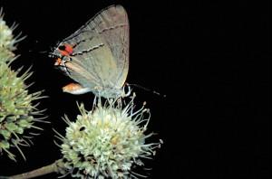 Gray, hairstreak, butterfly, strymon, melinus, tattlesnake, master, rostlina
